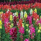 Fnho Semillas de Flores Multicolores,Maceta para Plantas de jardín/Interiores,Semilla de Pasto Goldfish, perenne-2000grain