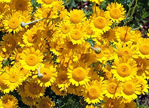 Färberkamille Anthemis tinctoria 100 Samen