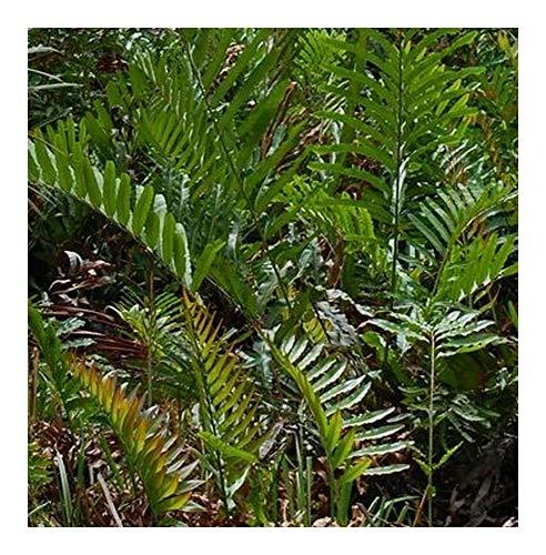 Acrostichum aureum - Mangrove fougère - 10 graines