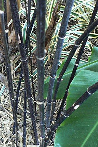 Asklepios-seeds® - 100 Semillas de Phyllostachys nigra Phyllostachys nigra nigrum, bambú negro