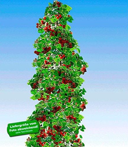 BALDUR-Garten Säulen-Tayberry 'Buckingham', 1 Pflanze Beerenobst