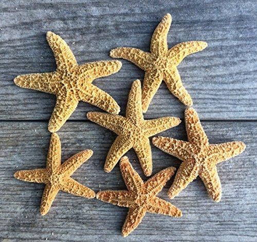 Sugar Starfish | 6 Brown Sugar Starfish 2'-3' | Plus Free Nautical eBook by Joseph Rains