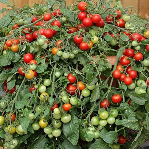 Bajaja Tomatensamen für ca. 10 Pflanzen – überhangender Wuchs, Massenertrag