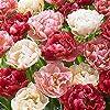 """八重咲きチューリップ""""ペップトーク""""4球【品種で選べる花球根/4球入り1袋】学名:Tulipa l./ユリ科チューリップ属●豪華な八重咲チューリップ品種。花弁の赤絞りが次第に濃くなり花色の移り変わりが楽しめ、個体差で白系・ピンク系・赤系の花が楽しめます。【※出荷タイミングにより、球根の大きさは多少大きくなったり小さくなったりしますが、生育に問題が無い球根を選んで出荷します。ご了承下さい】"""