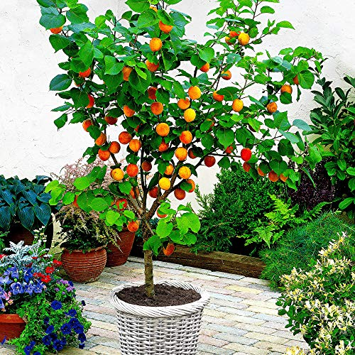 Prunus armeniaca | Aprikosenbaum |...