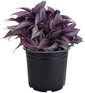 AMERICAN PLANT EXCHANGE Persian Shield Vibrant Ornimental Houseplant Live Plant, Exotic & Intense Neon Purple, 6