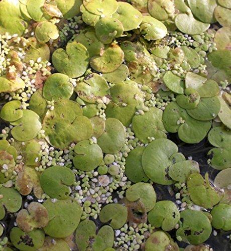Wasserpflanzen Wolff - 10 Stück Hydrocharis morsus-ranae - einheimischer Froschbiß, weiß
