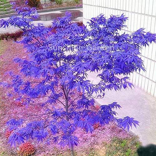 Bloom Green Co. BONSAIS 10pcs japanische lila Ahorn 100% Reales Baum Schöne Innentopfpflanzung für zu Hause Gartenbedarf