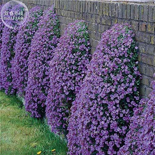 150pcs Rock Cress, Aubrieta Cascade paarse bloem Bonsais, Deer Resistant Superb vaste plant bodembedekker huis tuin: 3