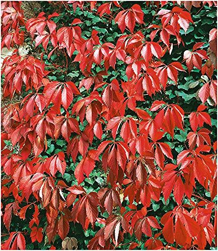 BALDUR Garten Wilder Wein 'Quinquefolia', 1 Pflanze schnellwachsende Kletterpflanze winterhart