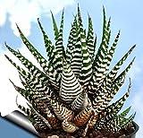 "Zebra Haworthia Plant - Easy to grow/Hard to kill! - 3"" Pot -unique form jmbamboo"