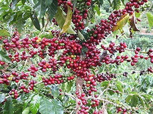 Top 10 Best coffee seeds Reviews
