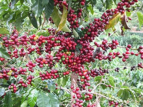Coffee Seeds for Planting(30 Seeds)
