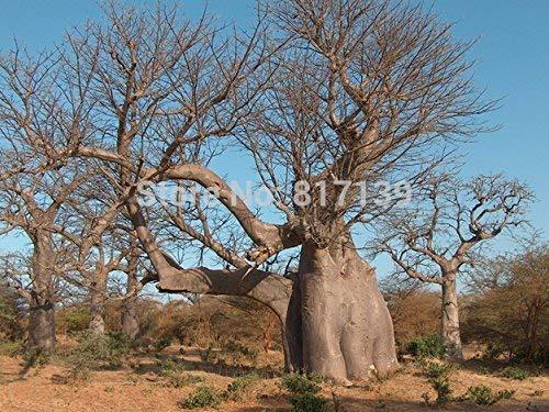 Nouveau jardin des plantes 2 Graines Adansonia digitata Baobab, Crème de Graines Tartare Arbre Livraison gratuite