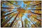 Forest Wall Art Photography Print - Picture of Looking Up in Trees on Autumn Day in Great Smoky Mountains - Unframed Fall Season Nature Photo Artwork Decor 5x7 to 40x60