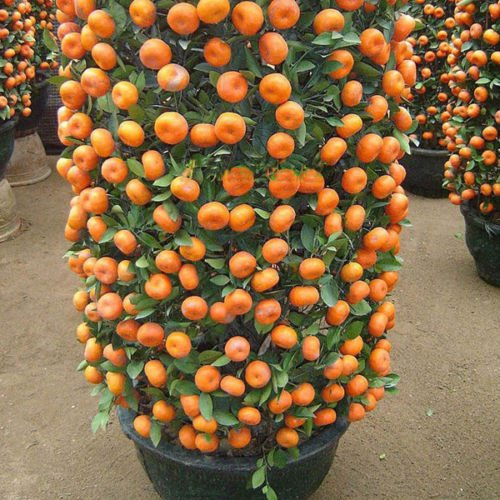 Mandarin Orange Dwarf Seeds Indoors Outdoors Fruit Tree Seeds 30pcs+ A01