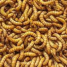 "DBDPet Organically Grown Premium Bulk 3/4-1"" (Large) Live Mealworms 3,100ct - Reptiles, Leopard Geckos, Small Geckos, Chickens, Fishing, Wild Blue Birds, Wild Birds - Includes a Caresheet"