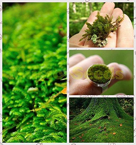 1bag = 100pcs mousse verte Graines exotiques rares graines mousse Bonsai belle Kawaii Plante en pot Décoration Maison & Jardin Livraison gratuite