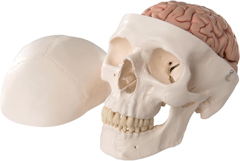 3B Scientific Klassik-Schädel Modell mit mit mit Preiswert B001DYMB5O | Ermäßigung  4616da