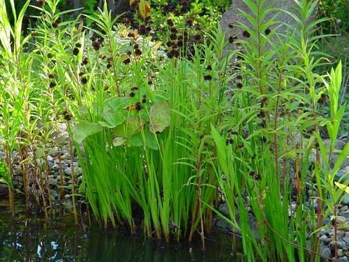 10 Teichtöpfe für die Flachwasserzone 10 - 40cm, Teichpflanzen, Wasserpflanzen