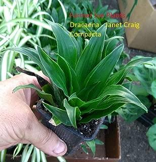 Dracaena - Janet Craig COMPACTA - Live Plant - 3