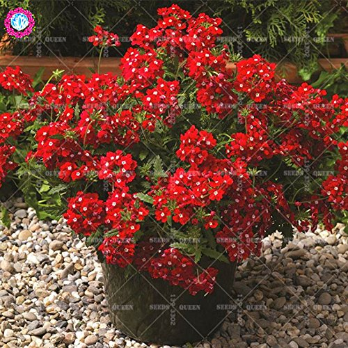 Variété rare! 100 pcs / sac verveine graines plante herbacée hybride vivace en pot Maison et jardin 95% fleurs bonsaï taux de germination 6