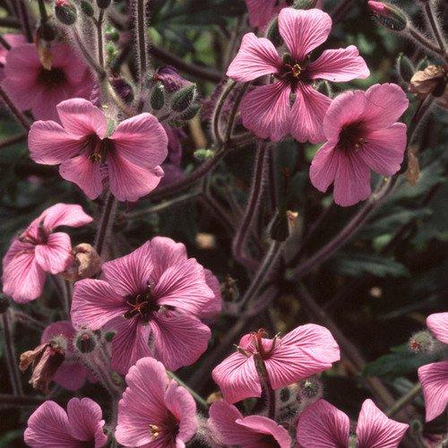 Plant World Seeds - Geranium Maderense Seeds