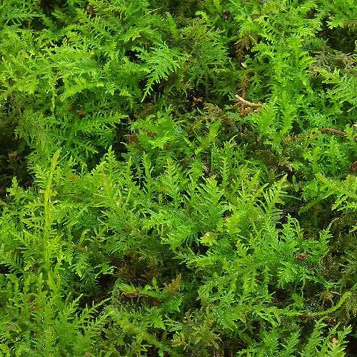 (観葉植物)苔 シノブゴケ 2パック分