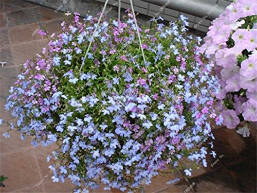 Exotique Bleu Fleur de Lin Graine jardin Air purifiant Plante en pot Fleurs Graines de Heirloom Bonsai Hanging Rares Lin 50 Pcs 8