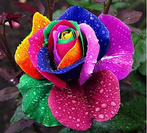 100 Graines rares semences Hollande Rainbow Rose coloré plantes jardin Fleurs amant arc rare rose graines de fleurs
