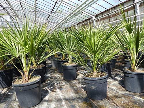 Palme 80 cm Zwergpalme Chamaerops Humilis, winterhart bis -12°C