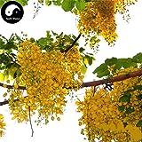 GETSO Samen-Paket: Kaufen Sophora Xanthantha Seed Semente 60pcs Seed Sophora Xanthantha Guo Huai