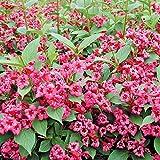 Weigelia florida 'bristol ruby' grandi impianti di plug x 3 hardy fioritura arbusto Il prezzo include doveri customes Semi è il pacchetto set Spedizione fornendo internazionale