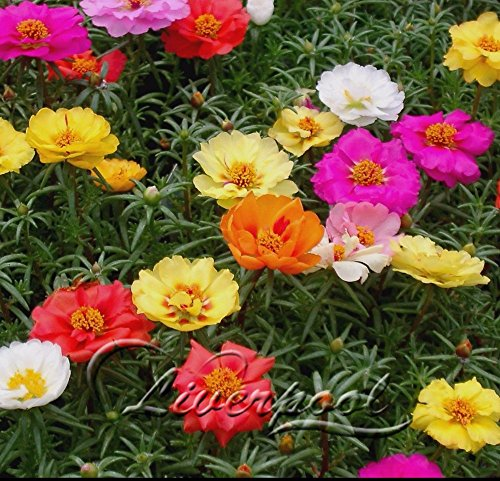 Seeds Market Rare 500 mixed color Moss-rose Purslane seeds are more colors in a gorgeous color combination-1pack