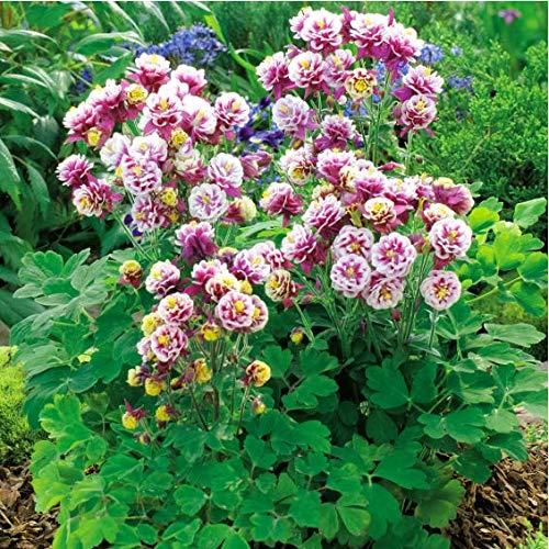 Tomasa Gartensamen- Akelei Samen Gefüllt Akelei Blumensamen Winky Red blüht frostharte Staude Blumenwiesen für Terrasse/Balkon/Garten