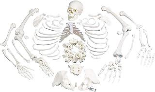 3B Scientific A05/1 Esqueleto Completo, Desarticulado con Cráneo, 3 Piezas - 3B Smart Anatomy