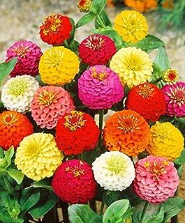 Seeds Zinnia Pompon Mix Flower Annual Outdoor Garden Cut Organic Ukraine