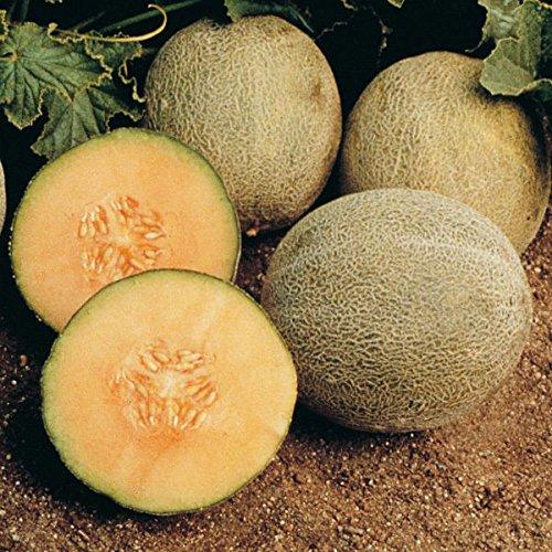 PLAT FIRM GERMINATIONSAMEN: 40+ Samen: Cantaloupe Samen: Ambrosia Cantaloupe Fresh Seed KOSTENLOSER Versand