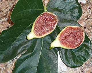 'Desert King' Fig, Bright Yellow Fruit - 1 Gallon Live Plant, Shipped Bare Root