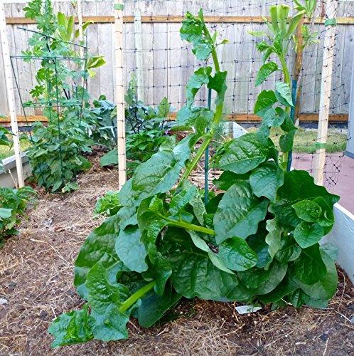 Green Malabar Spinach-100 Seeds [Guyana Thick Leaf...