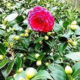 Future Exotics Echte Kamelie Camellia Rossa winterhart 40-50 cm