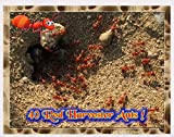 Insectsales.com Live Ants for Ant Farms with Free Ant Food (40 Healthy Red Harvester Ants) (3) FedEx 2 Day Express