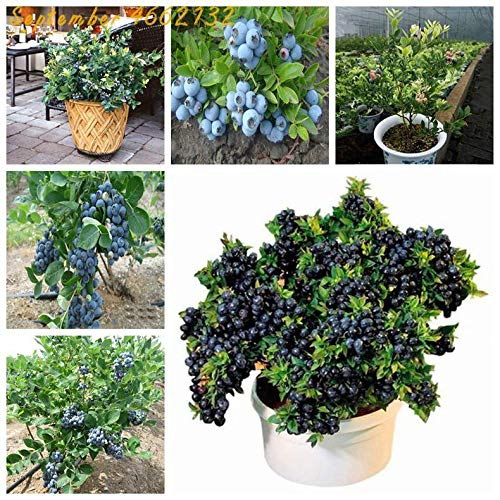 Blueberry Seeds S 50Pcs Blueberry Seeds Obst Outdoor-Samen hochstämmigen Blaubeeren Diy count Seeds Für Privatanwender