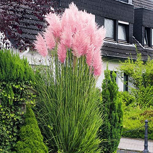 Yukio Samenhaus - 500pcs Rosa Pampasgras Ziergras winterhart mehrjährig Balkon Blumensamen, als Sichtschutz z.B. für die Terrasse und als Kübelpflanze