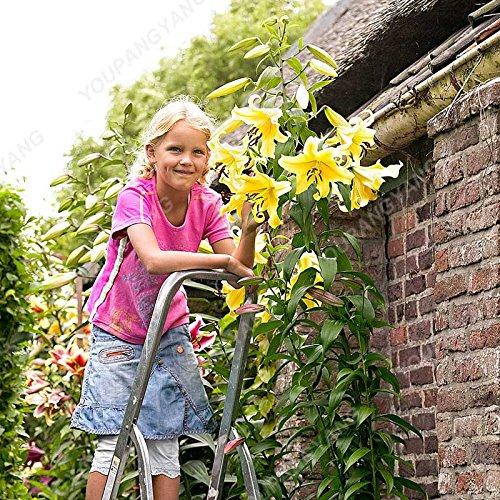 Promotion!! 100 pcs/sac géant Lily Graines pas cher Lily Graines de fleurs Barbade Lily en pot Graine Bonsai Balcon Fleur Livraison gratuite vert