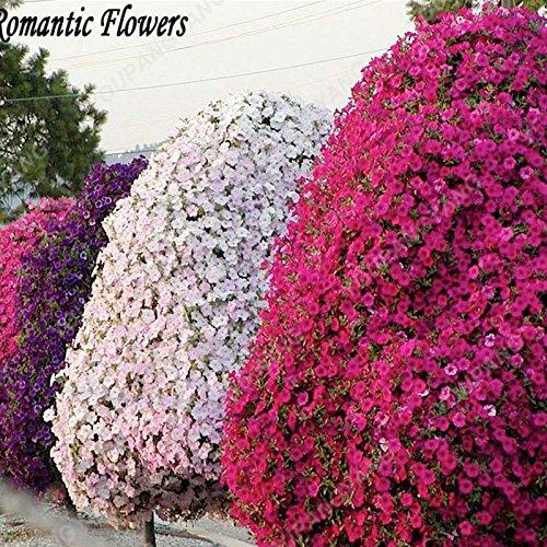 100pcs Hanging couleurs mélangées Petunia Seeds belles fleurs pour jardin plante Bonsai Pétunia Graines de fleurs Livraison gratuite Blanc