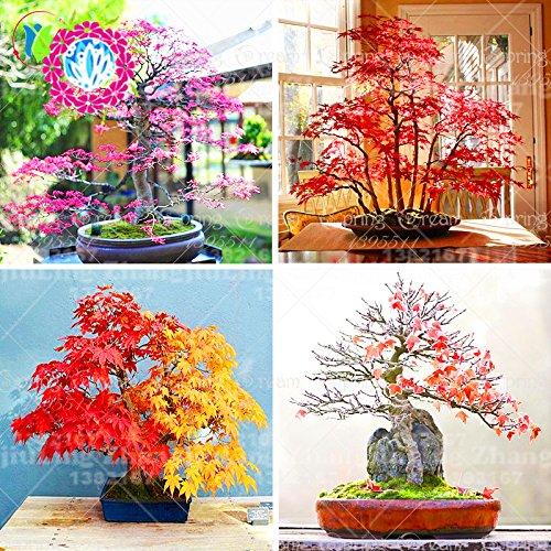 20pcs japonisantes Graines d'érable rares couleurs arc-en-Très belles plantes Japon Nouvelle Jardinerie Bonsaï plantes d'intérieur