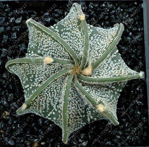 100 Pcs/Sac réel Mini Cactus graines, plantes rares Succulent vivaces herbes, graines Bonsai Pot de fleurs, intérieur plante pour jardin 8