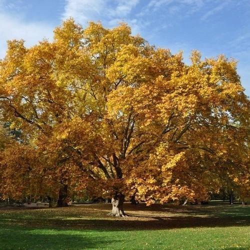 Amerikanische Platane-Baum-Samen (Platanus occidentalis) 50 + Seeds