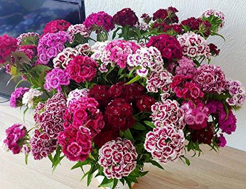 Bartnelke - Sweet William Double Mix - Nelke - Dianthus barbatus - 500 Samen